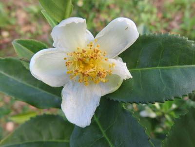 Camellia sinensis planta som blommar