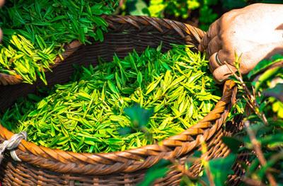 grönt te bra för magen