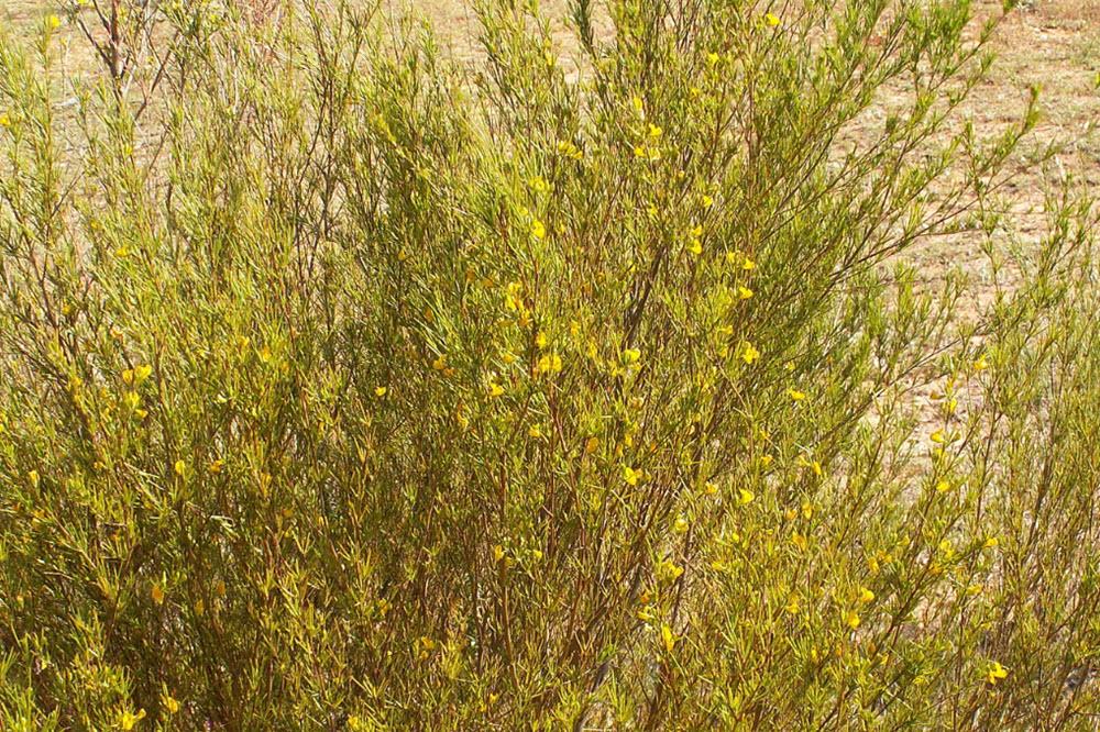 Aspalathus linearis planta