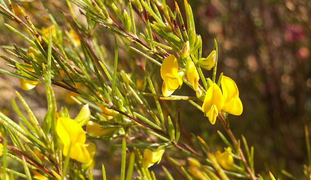 Aspalathus linearis (rooibos) blomma