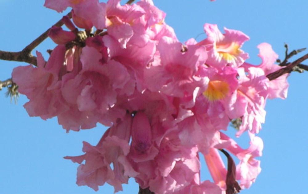 Pau darco blommor närbild