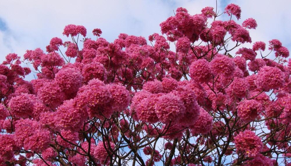 Pau darco blommor - använts normalt inte när man gör Pau d'arco te